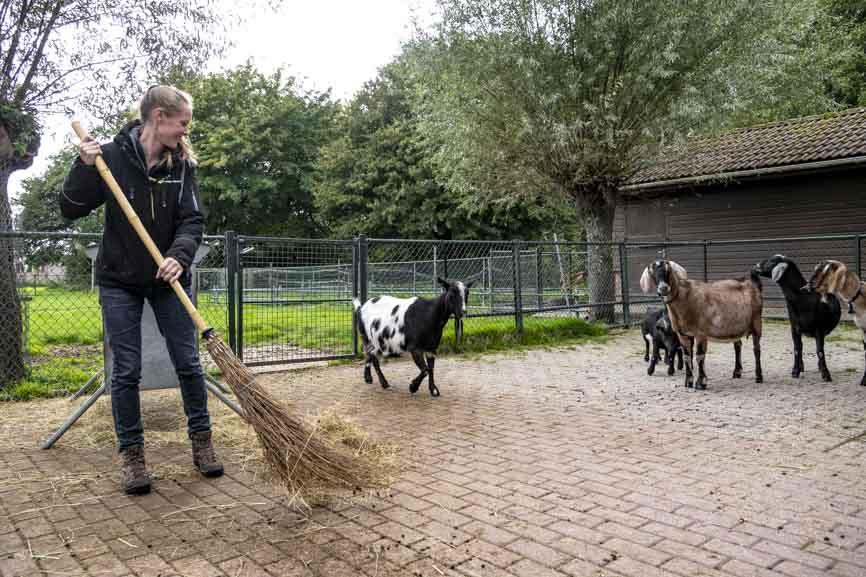Lisa veegt hooi en geitenkeutels bij elkaar terwijl de geiten toekijken