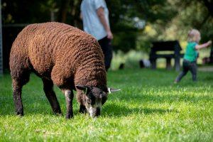 Bruin schaap op Kinderboerderij de Bongelaar