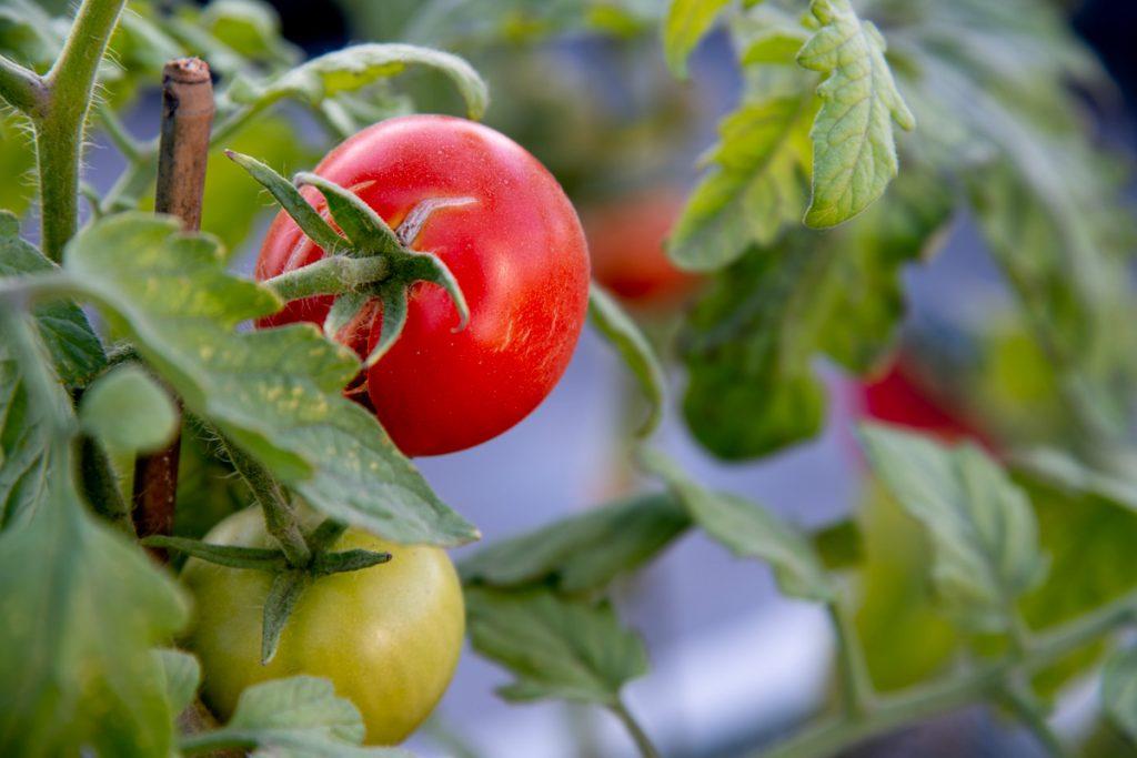 Rode tomaat aan een plant